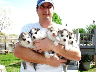 Buy Siberian Husky, order Puppies, husky for sale