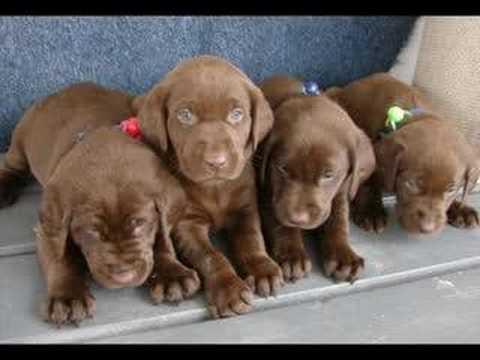 Male & female Labrador Retriever puppies for sale