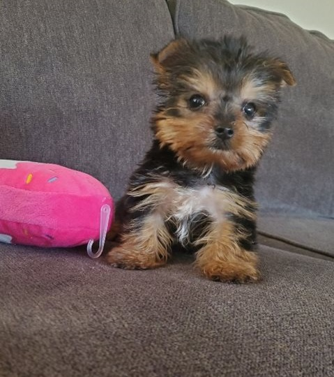 Teacup Yorkie puppies ready for their new homes