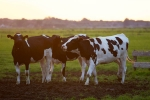 Cow Urine Can Cure Cancer, Says Nagpur Institute