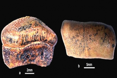 New Species Of Jurassic-Age Hybodont Shark Discovered In Rajasthan