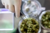 Lung Damage From COVID-19 Can Be Prevented With Cannabidiol