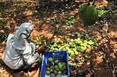 Nipah Effect: Mango Growers in Karnataka Faces Tough Time in Export