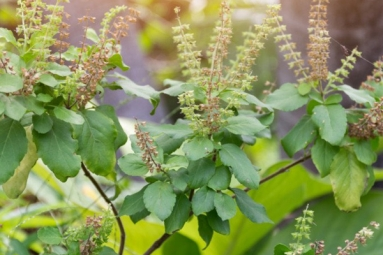 Tulsi for Skin: How This Indian Herb Helps in Making Your Skin Acne-Free, Glowing